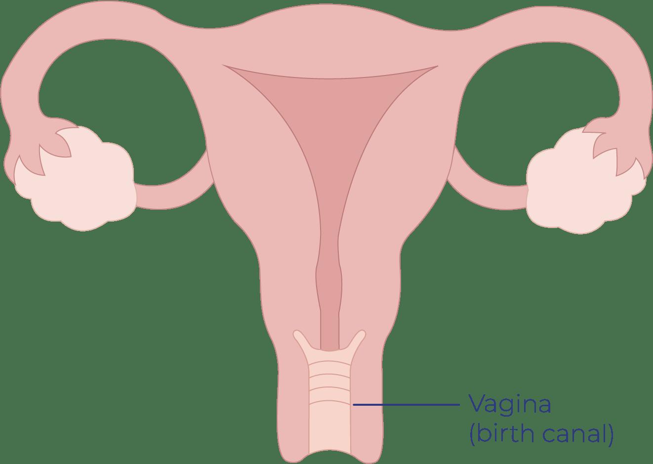 Vagina l